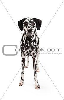 Attentive Dalmatian Dog Standing