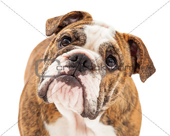 Attentive English Bulldog Closeup