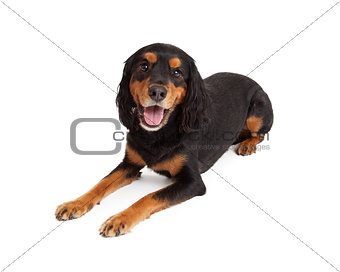 Attentive Gordon Setter Mix Breed Dog Laying