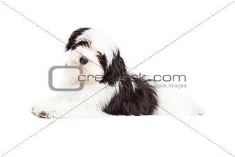 Attentive Havanese Dog Laying
