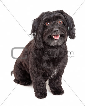 Attentive Havanese Dog Sitting With Mouth Open