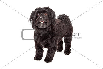 Attentive Havanese Dog Standing With Mouth Open