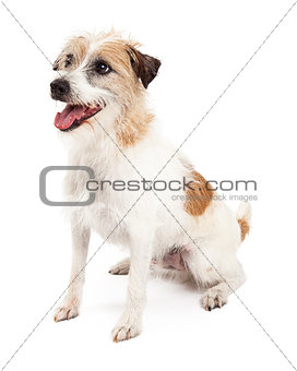 Attentive Jack Russell Dog Sitting