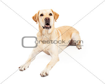 Attentive Labrador Retriever Dog Laying