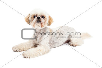 Attentive Maltese and Poodle Mix Dog Laying