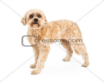 Attentive Maltese and Poodle Mix Dog Standing