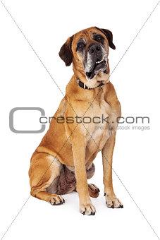 Mastiff Dog Attentive