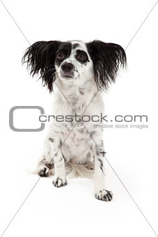 Attentive Papillon Mixed Breed Dog