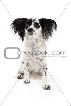 Attentive Papillon Mixed Breed Dog