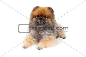 Attentive Pomeranian Dog Laying