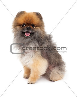Attentive Pomeranian Dog Sitting
