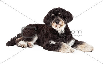 Attentive Poodle Mix Breed Dog Laying