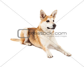Attentive Australian Cattle and Shiba Inu Mix Dog Laying