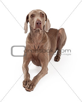 Attentive Weimaraner Dog Laying
