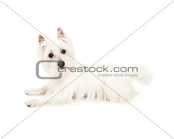 Attentive West Highland Terrier Dog Laying