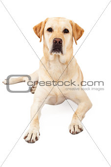 Attentive Yellow Labrador Retriever Laying