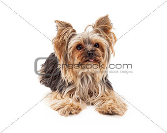 Attentive Yorkshire Terrier Dog Laying Looking Forward