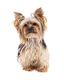 Attentive Yorkshire Terrier Dog Sitting Looking Forward