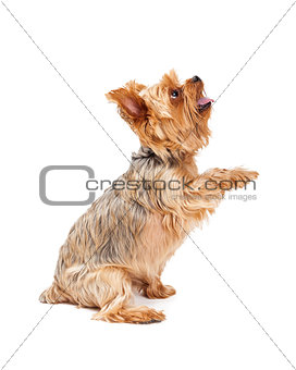 Attentive Yorkshire Terrier Puppy Extending Paw