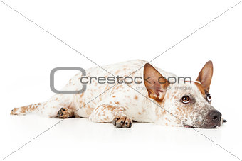 Australian Cattle Dog Laying and looking up