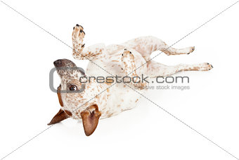 Australian Cattle Dog Laying on Back