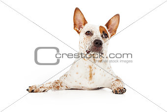 Alert Australian Cattle Dog Laying
