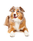 Australian Shepherd Dog Laying Looking To The Side