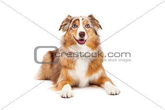 Australian Shepherd Dog Laying