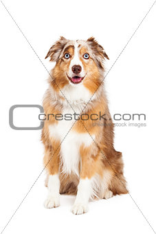 Australian Shepherd Dog Sitting