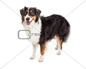 Australian Shepherd Dog Standing