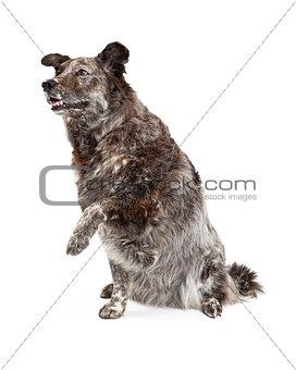 Australian Shepherd Mix Breed Dog and Paw Shake