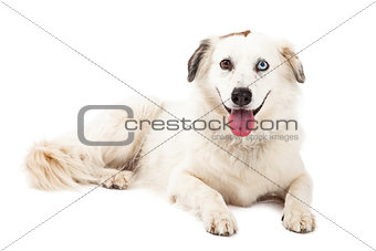 Australian Shepherd Mix Breed Dog Laying