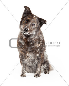 Australian Shepherd Mix Breed Dog Sitting
