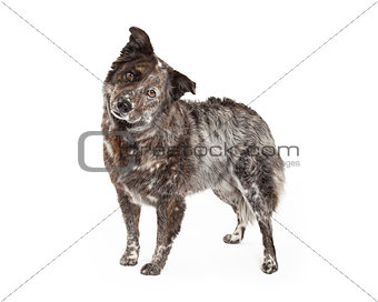 Australian Shepherd Mix Breed Dog Standing