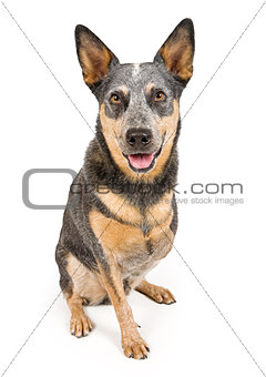 Australian Cattle Dog With Missing Leg Isolated on White