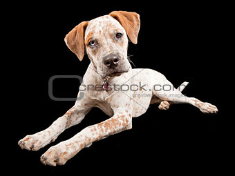 Australian Cattle Dog Cross Breed