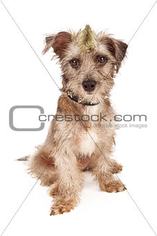 Bad dog with spiked collar and mohawk