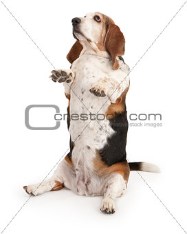 Basset Hound Dog Sitting Up