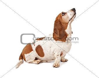 Basset Hound Dog Looking for a Treat
