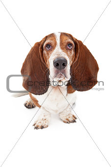 Basset Hound Dog With Sad Face