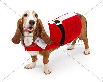 Basser Hound Dog Wearing a Santa Suit