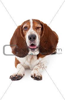 Basset Hound Dog Winking