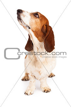 Basset Hound Dog Drooling Looking Up