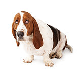Guilty Looking Basset Hound