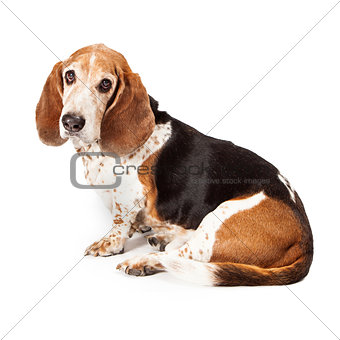 Basset Hound Profile Sad Look