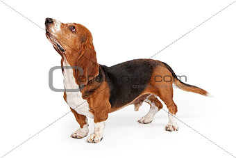 Basset Hound Dog Profile