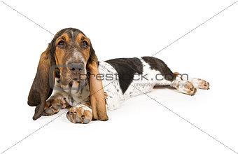 Basset Hound Puppy Laying Down