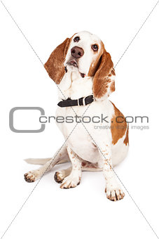 Basset Hound Sitting and Leaning to Side