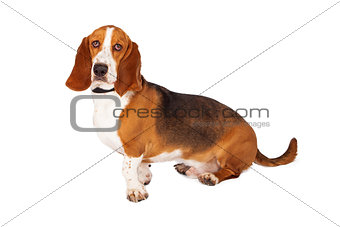 Basset Hound Dog Side Looking Forward