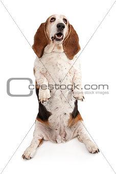 Basset Hound Dog Begging